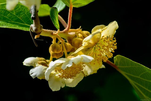 Kiwi bloom