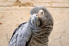 Israel-06758 - African Grey Parrot