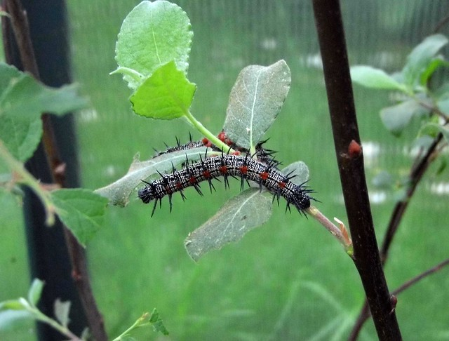 Camberwell Beauty Caterpillars, Panasonic DMC-LZ30