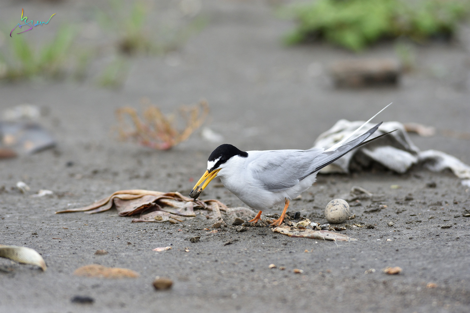 Little_Tern_4029