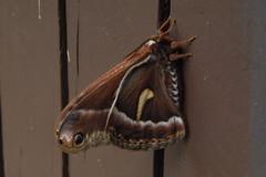 Polyphemus Moth (Antheraea polyphemus), marblemount, wa_06012017
