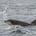 Moray Firth Dolphin with Salmon by cjdolfin