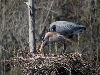 Great Blue Heron, Magnolia Gardens 3-5-2017