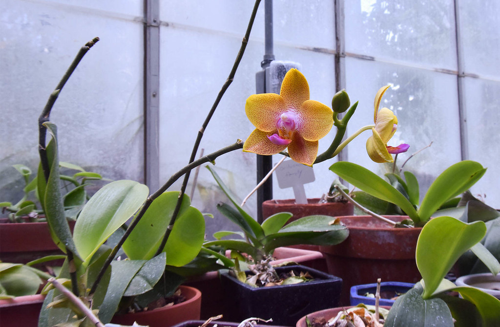 Blooming orchid