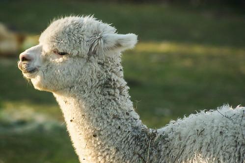 Baby llama XI