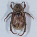 Small photo of Hoplia callipyge