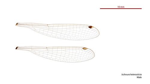 taxonomy:order=odonata wings hindwing zygoptera ischnura geo:country=australia australia forewing heterosticta ischnuraheterosticta taxonomy:binomial=ischnuraheterosticta australianmuseum coenagrionidae damselfly commonbluetail odonata dragonfly taxonomy:family=coenagrionidae