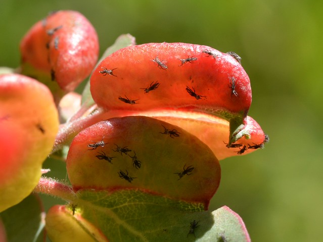 Exuviae of Manzanita Leaf Gall Aphids (Tamalia coweni)