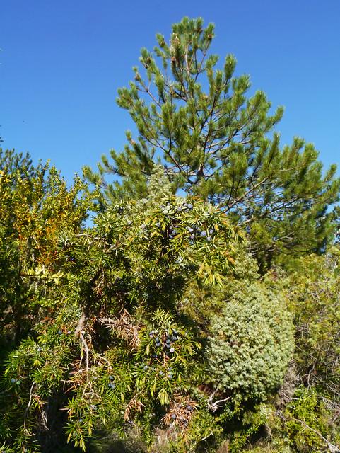 Juniper (Juniperus communis), Sentier des Terres Rouges, Les Pontils