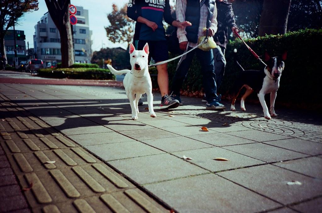 光が丘 Tokyo, Japan / Kodak Pro Ektar / Lomo LC-A+ 迎面而來的人,與迎面來了的狗!  我蹲下來按快門,白色那隻想要撲過來我這裡!  Lomo LC-A+ Kodak Pro Ektar 100 7941-0010 2016-11-20 Photo by Toomore