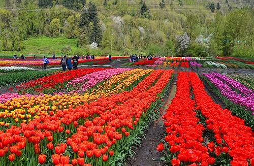 nikond7000 nikkor18to200mmvrlens canada bc britishcolumbia abbotsford sumasprairie bloomabbotsford tulips spring