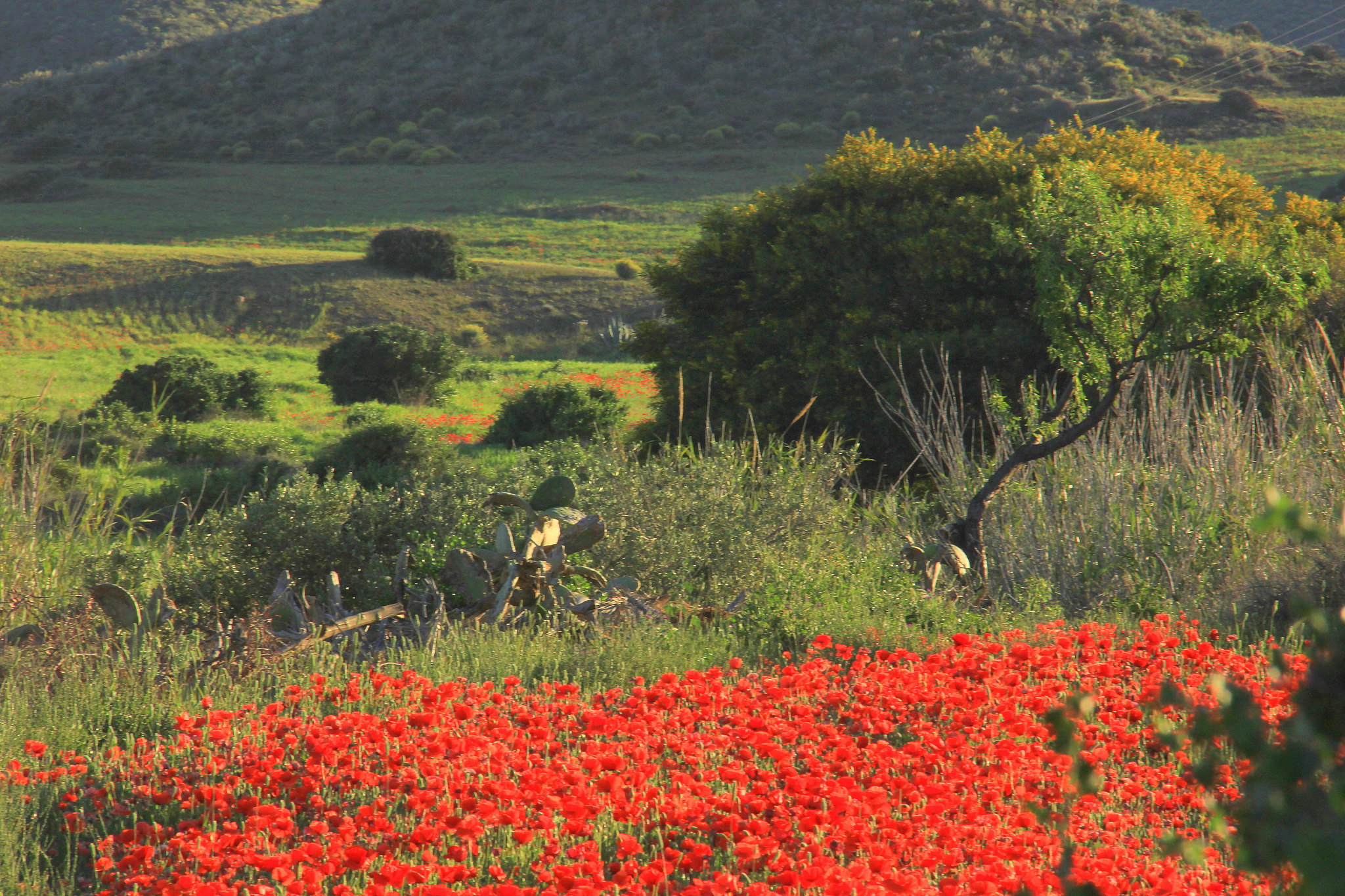 Poppies in spring in Spain