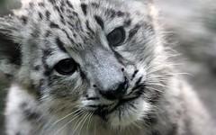 Snow Leopard Wallpaper 1
