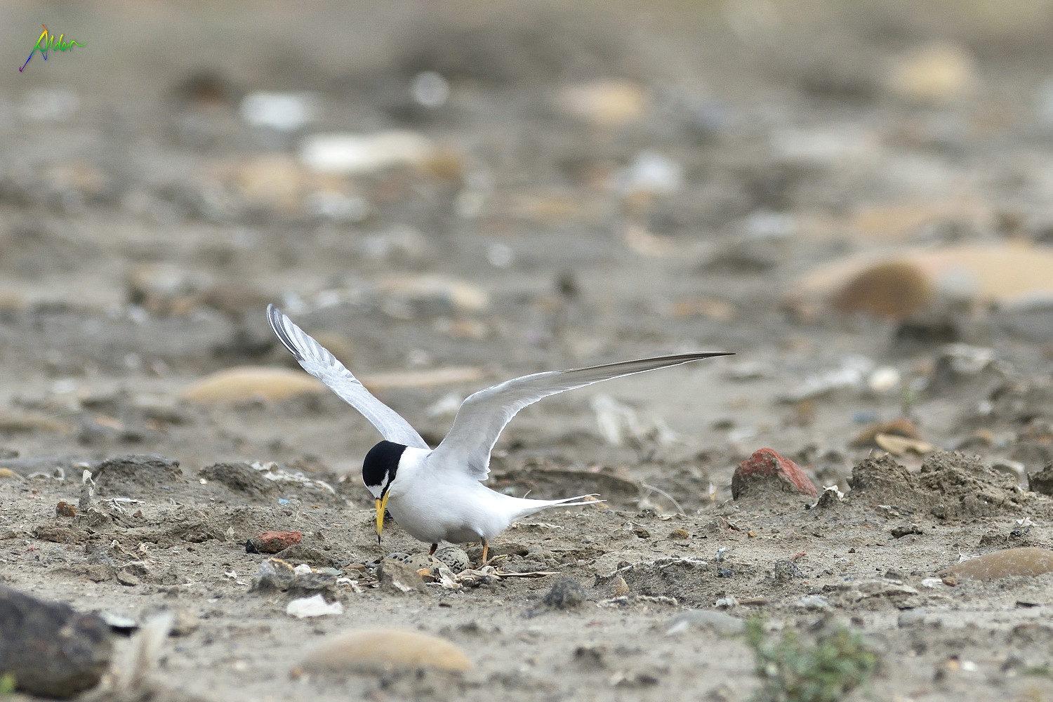 Little_Tern_2078