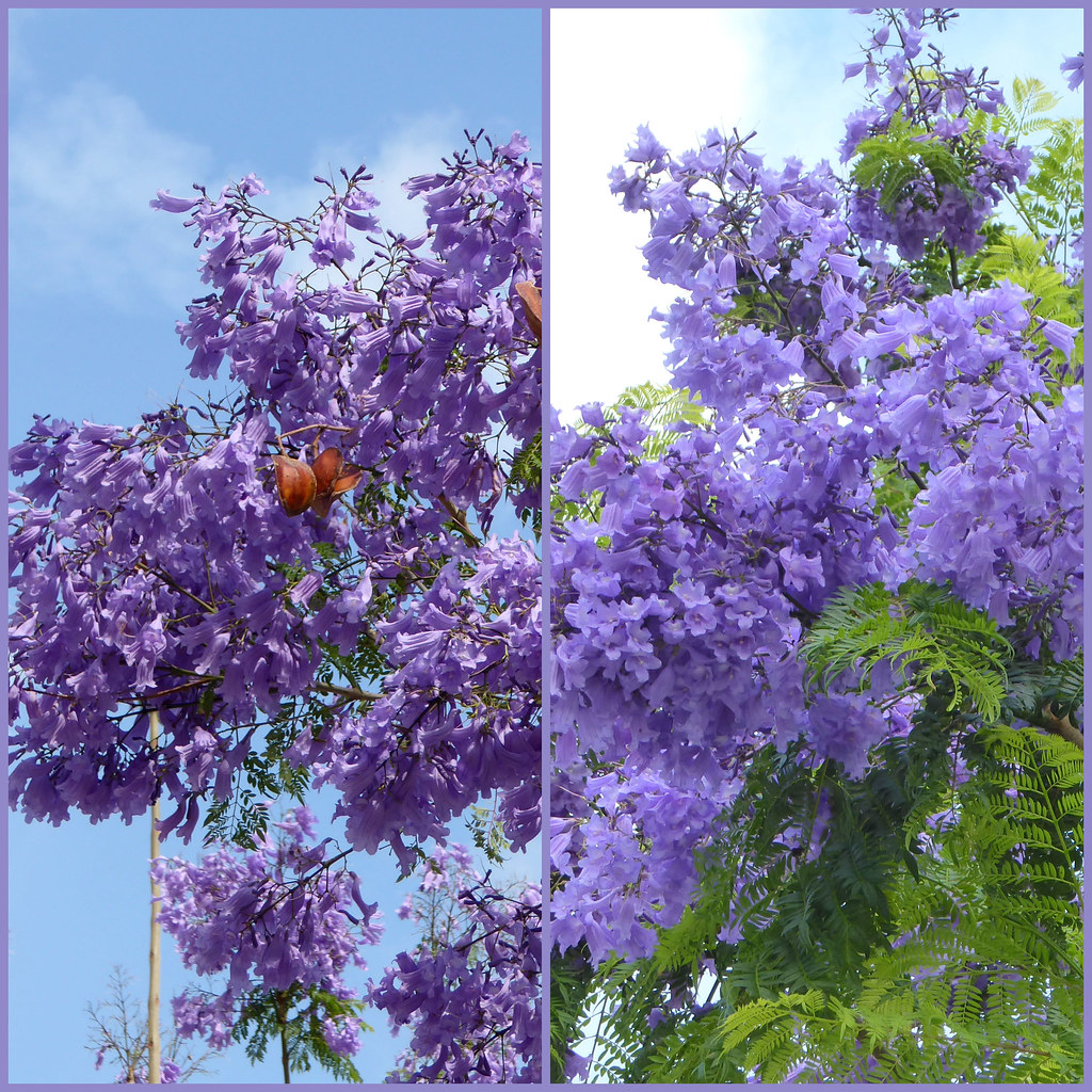 Palisanderholzbaum  Flickr photos tagged palisanderholzbaum | Picssr