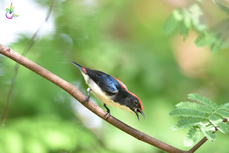 Scarlet-backed_Flowerpecker_8932