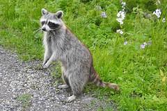 Momma Raccoon