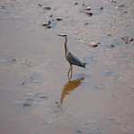 River Ribble Heron3