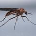 Diptera?
