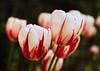 The 150 Tulip