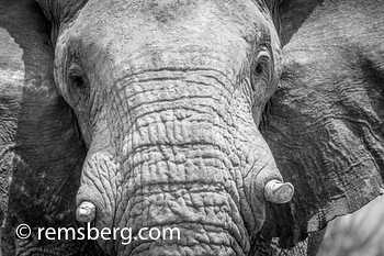 Close up view of an elephant at Etosha National Park, located in Namibia, Africa.