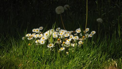 Gänseblümchen (Bellis perennis); Bergenhusen, Stapelholm (5)