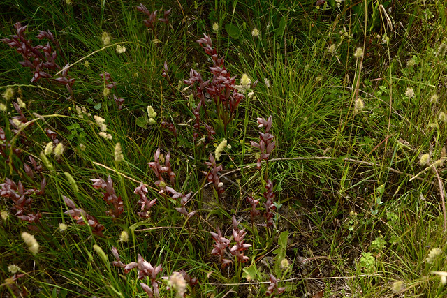 Serapias vomeracea - sérapias à labelle allongé 34927438145_9b26b50e30_z