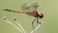 Four-spotted Pennant (immature male)- Holiday, Florida