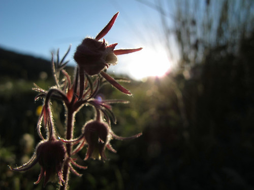 colorado mountains meadow wildflowers prairiesmoke geumtriflorum rosaceae rosefamily native perennial beauty forest flowers backlitbeauty rockymountains mountainmeadow sanmiguelmountains sanjuannationalforest highrockies 9880ftelevation earlysummer outinthewild outdoors exploration wild adventure hiking discovery coloradoexpedition2016 closeup detail macro backlit sunset highcountry wilderness nature canonpowershotg12 pspx9 zoniedude1 earthnaturelife