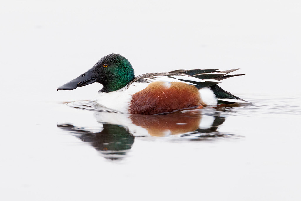 A northern shoveler swims across Horse Lake, reflected white on a cloudy Christmas morning