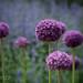 Allium 2 by rarecat2