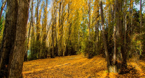 autumncolours yellow leaves fall newzealand otago wanaka forest
