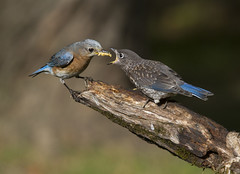 Eastern Bluebirds, juvenile and mom