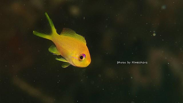 こちらはキンギョハナダイ幼魚ちゃん♪