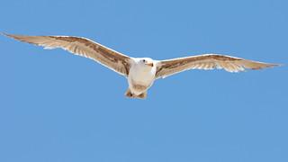 Flying California Gull (Larus californicus)