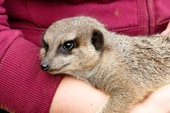 Meerkat lying relaxing on a lady's arm