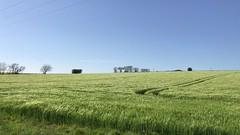 Summer Breeze Teases Wheat Crop Scottish Highlands Farm