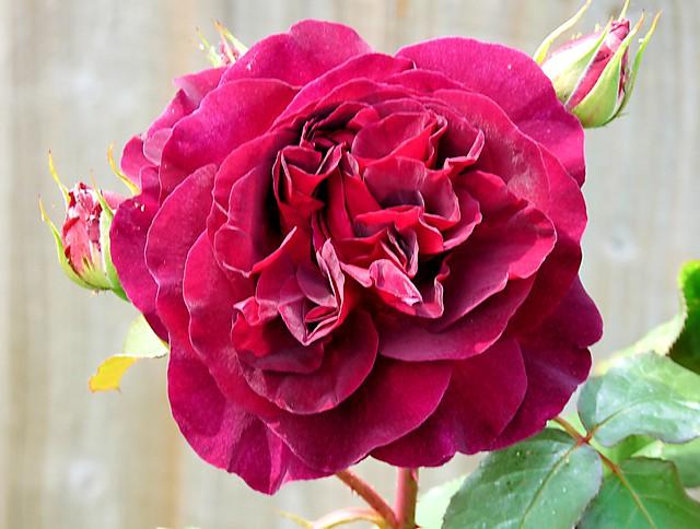 Anniversary rose, Panasonic DMC-FZ28