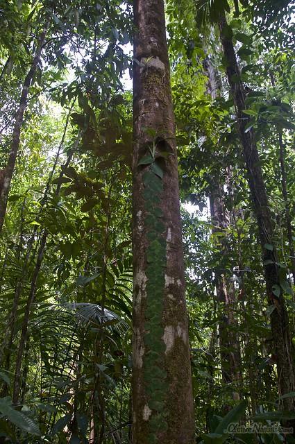 tree 0001 Corcovado, Osa peninsula, Costa Rica