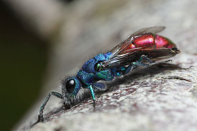 Ruby tailed wasp #4