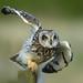 Short Eared Owl (explored 29/5/17) by r1mmer89