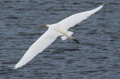 great egret bells neck flight-6229