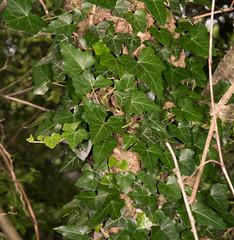English/Irish Ivy