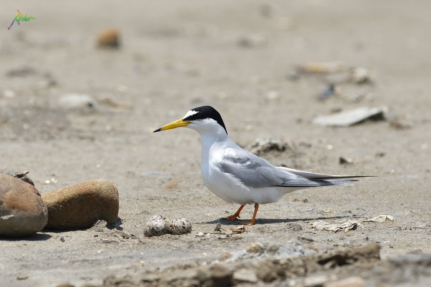 Little_Tern_2697