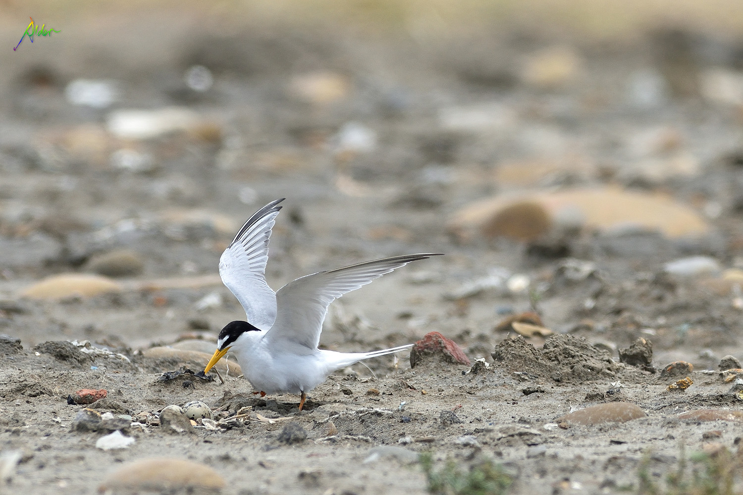 Little_Tern_2398