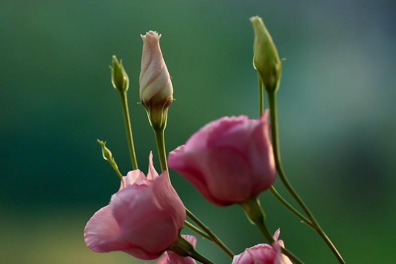Pink lisianthi