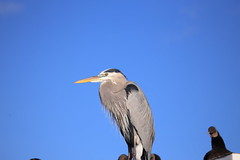 GREAT BLUE HERON #4