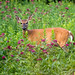Doe at Huntley Meadows by tonyclementsphotography