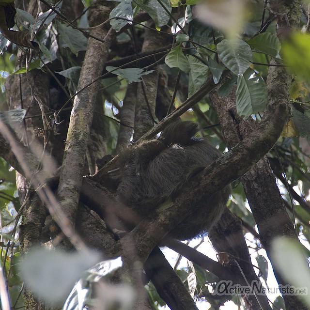 sloth 0000 Corcovado, Osa peninsula, Costa Rica
