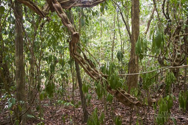 liana 0004 Corcovado, Osa peninsula, Costa Rica